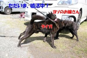 2013_0407_113500 taiga_konkatsu