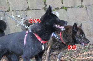 2013_1013_104928 kagetora_sakura